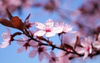 cherry-blossom-3308735_960_720
