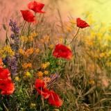 poppies-1378167_960_720