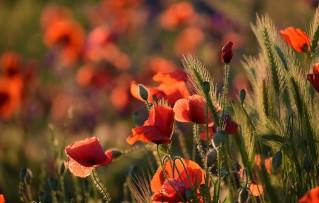 red-poppy-4247574_960_720